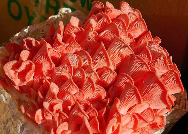 jamur tiram merah muda