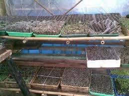 calon tanaman di polybag
