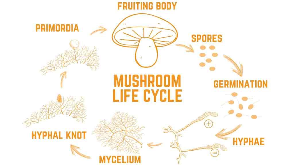 siklus jamur merang