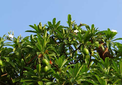 Pohon buah bintaro