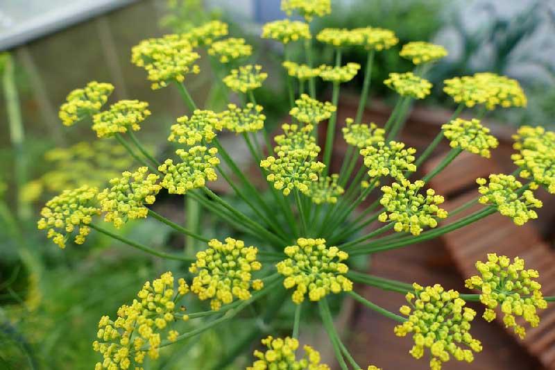 bunga tanaman adas