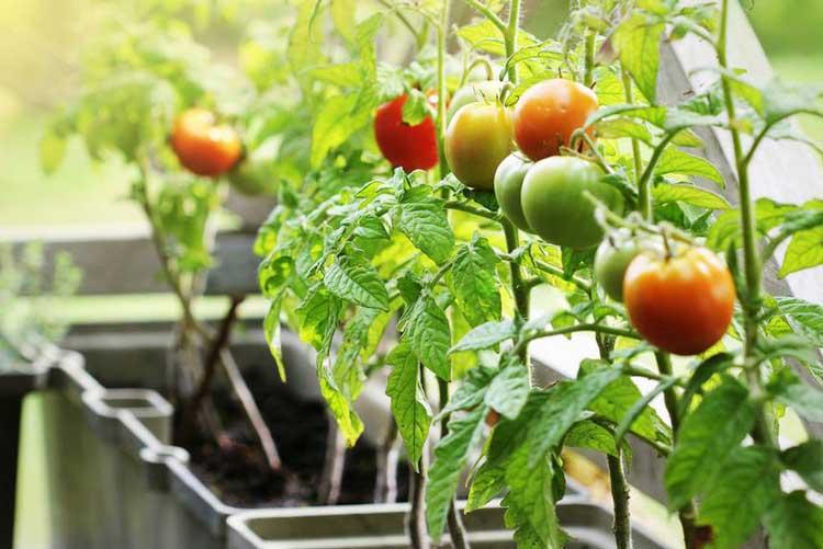 Umur Tanaman Tomat Sampai Mati