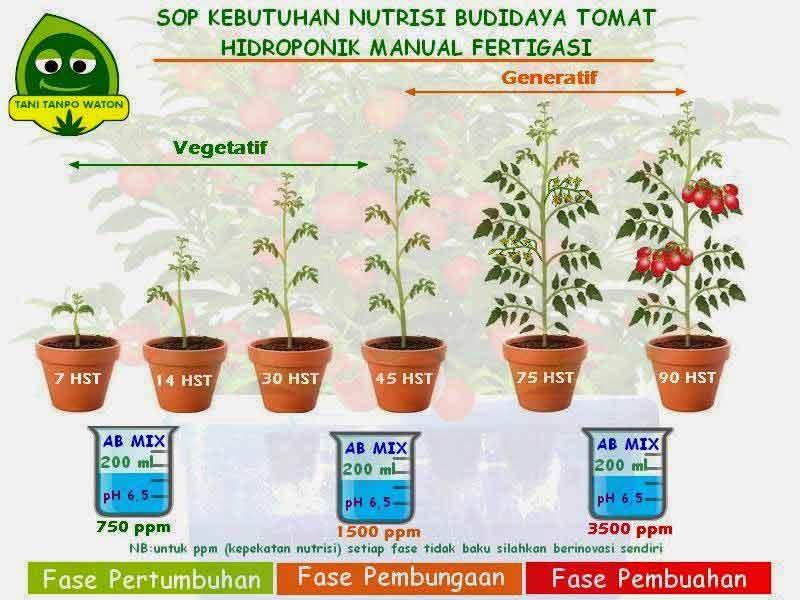 Fase pertumbuhan tomat