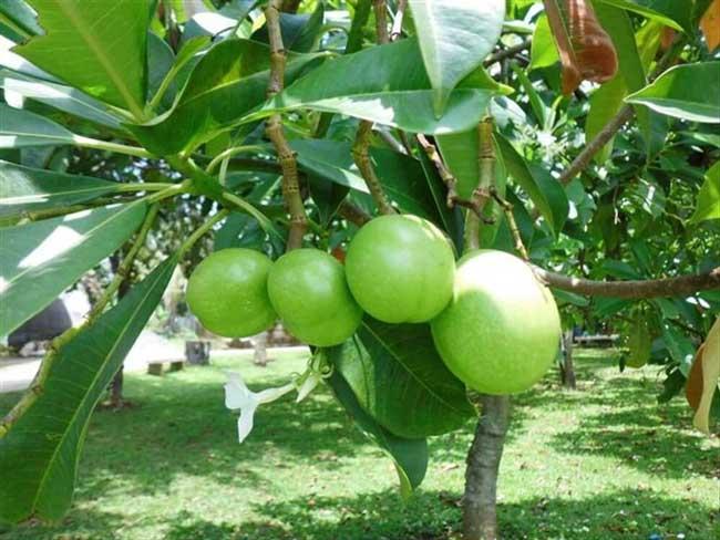 Harga buah bintaro