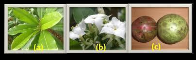 klasifikasi tanaman bintaro