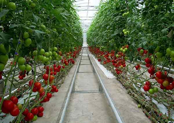 Tomat agar berbuah leabt