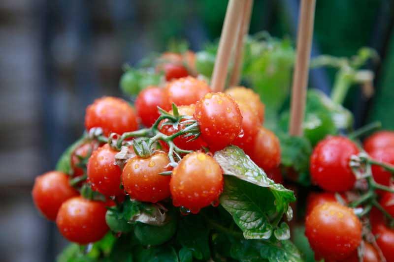 Mengenal tanaman tomat