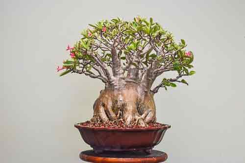 Adenium arabicum