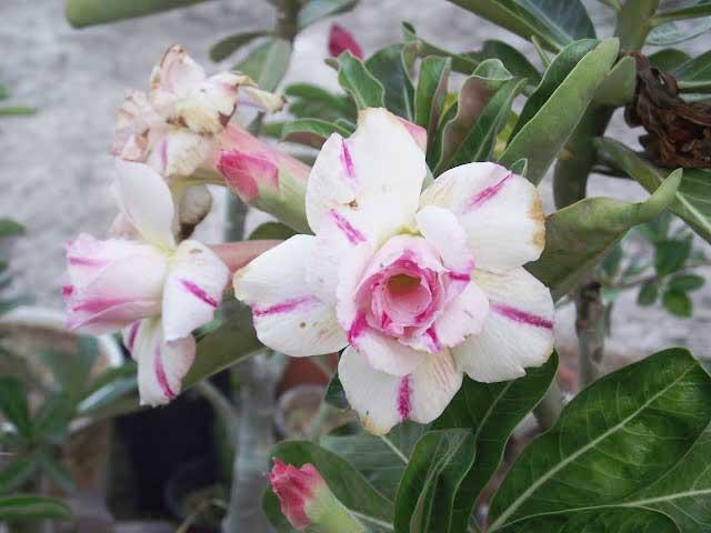 Jenis Jenis Bunga Adenium Dan Cara Menanamnya