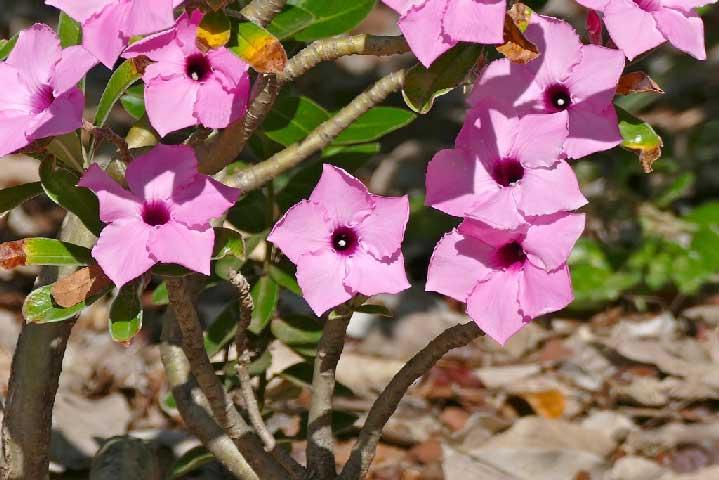 Bunga Adenium Swazicum