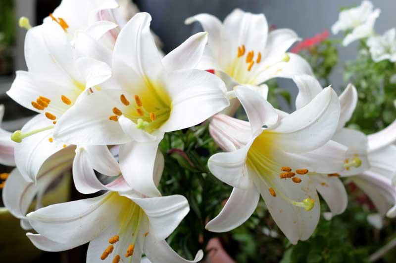 bunga lily putih