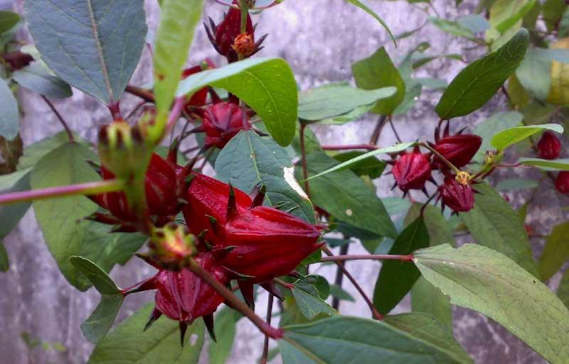Bunga Rosella