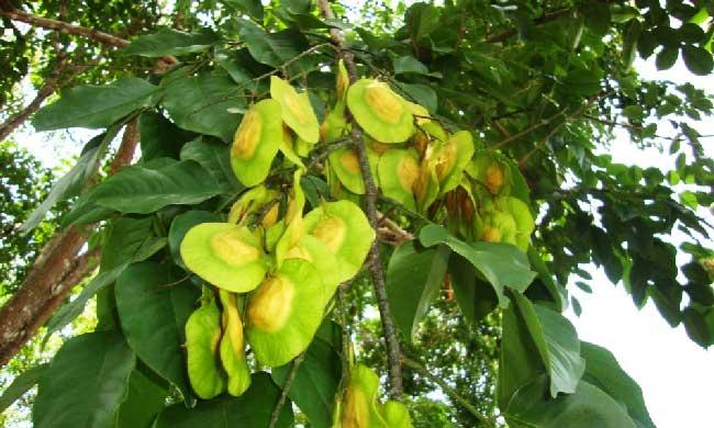 Daun bunga pohon angsana
