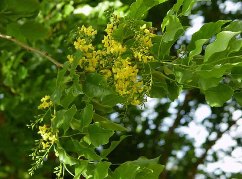 Bunga daun angsana