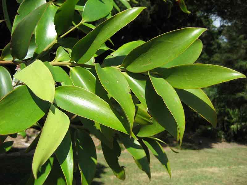 Daun pohon damar