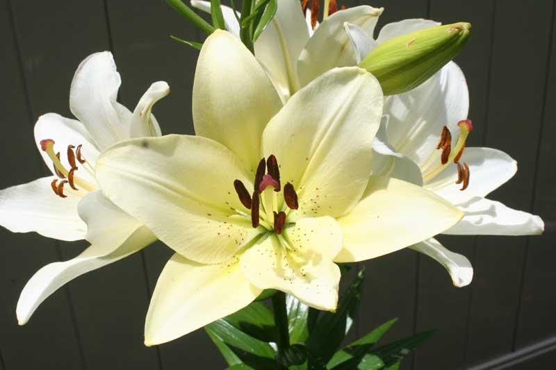Gambar bunga lily putih