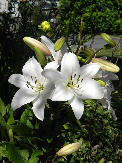 Cara Menanam Bunga Lily di Rumah