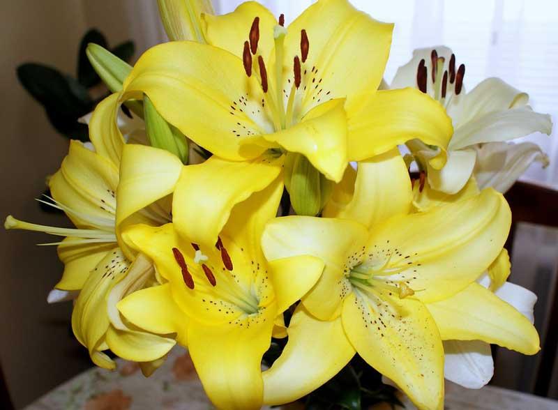 Merawat Bunga Lily Sebagai Tanaman Hias