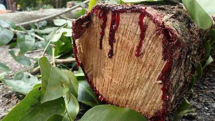 Manfaat getah pohon angsana