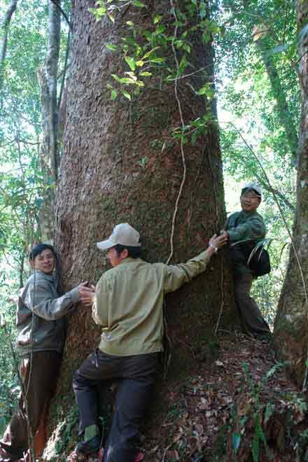 Pohon damar asli besar banget