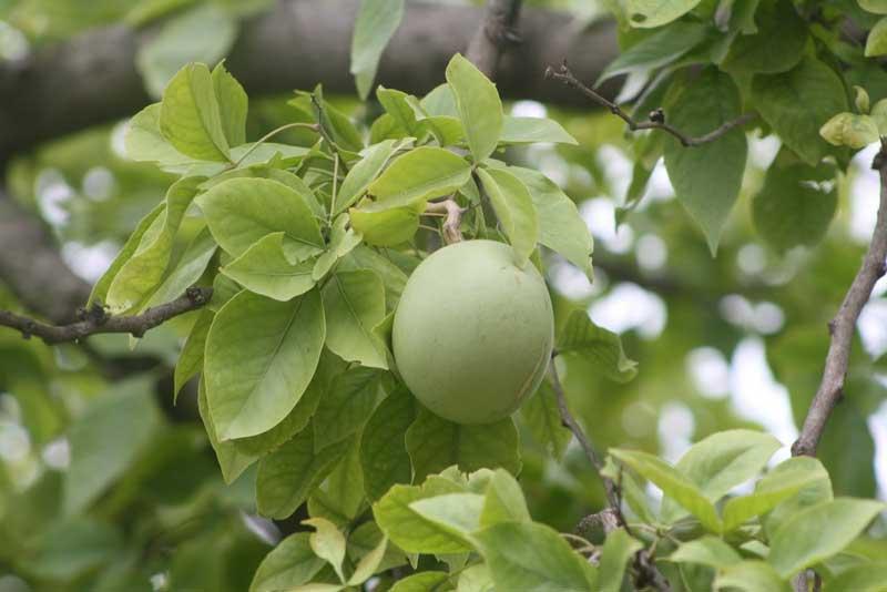 Gambar buah maja
