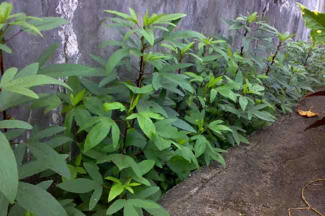Cara menanam bunga rosella