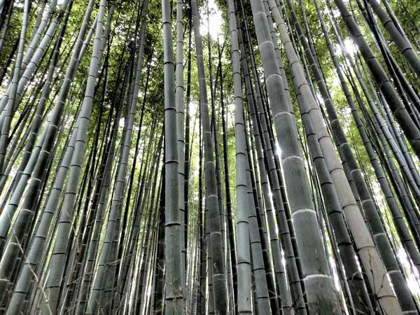 Pohon bambu jepang