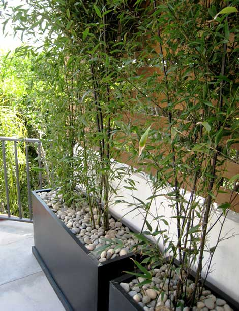Tanaman hias bambu