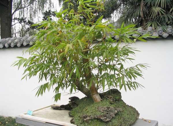 Gambar bonsai bambu