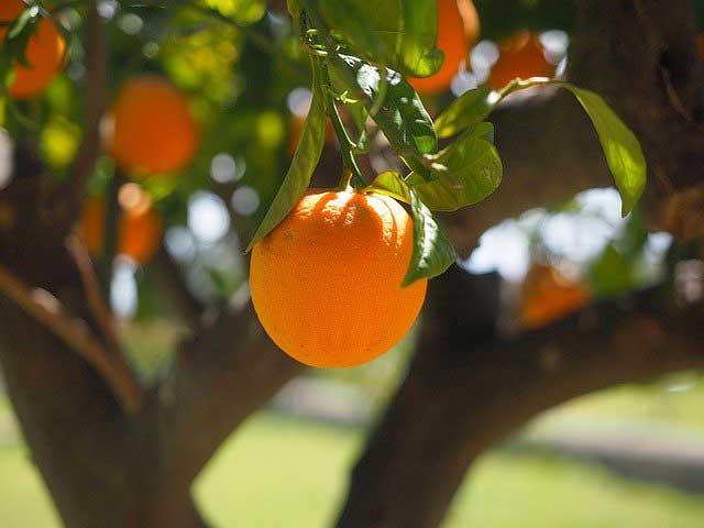 jeruk sunkist