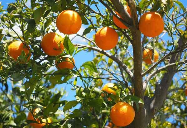 Pohon jeruk sunkist