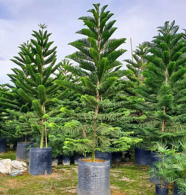 Pohon Cemara Norfolk