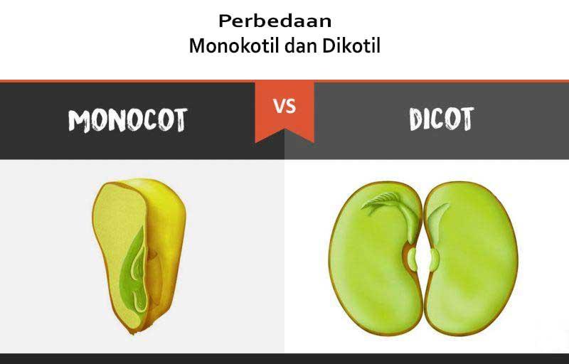 Perbedaan Monokotil Dan Dikotil