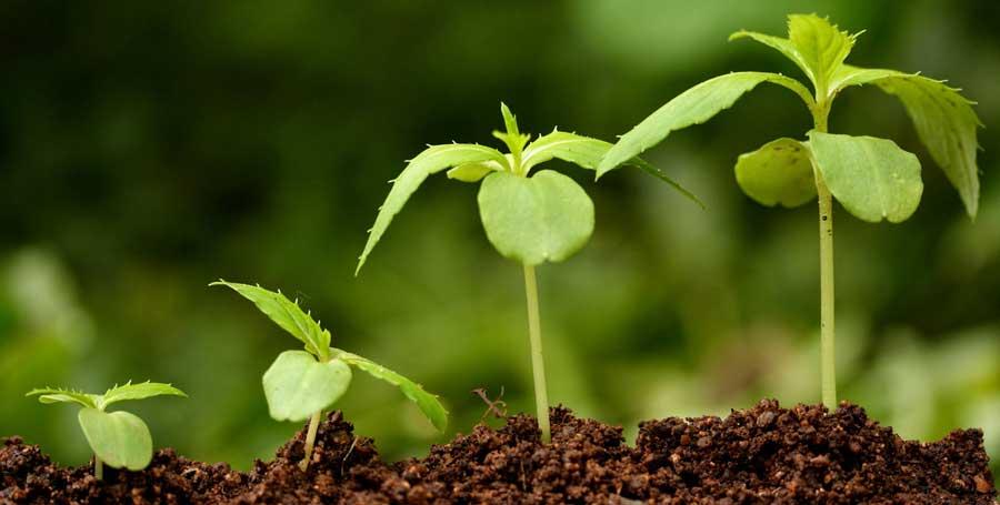 contoh tanaman dikotil