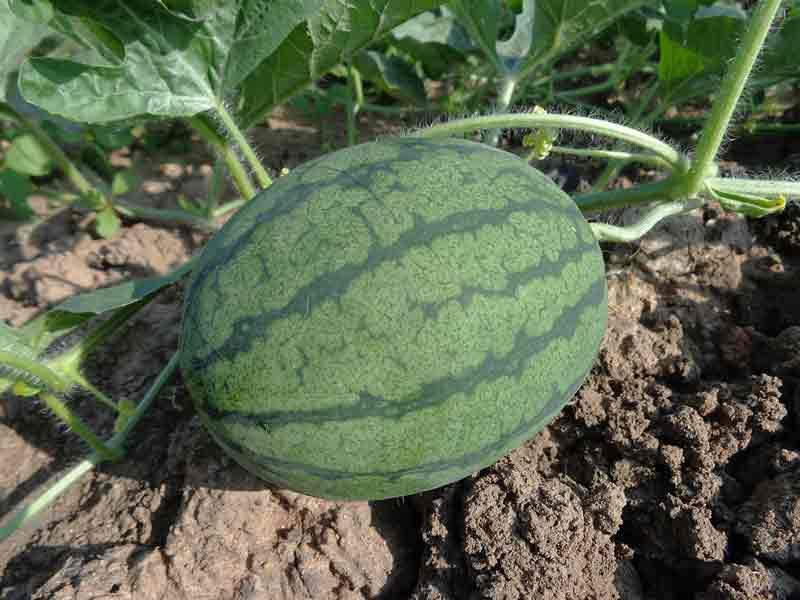 Tanaman semangka berbuah