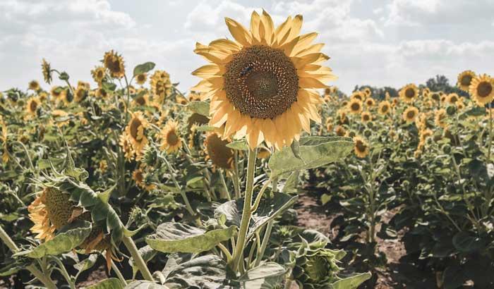 Kebun bunga matahari