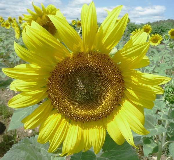 Jenis Sunflower Moonwalker