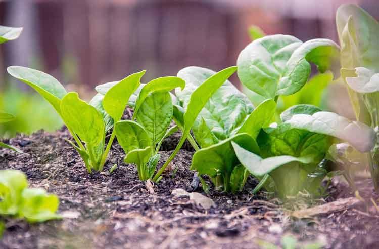 cara budidaya tanaman bayam